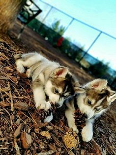 Siberian Huskies More