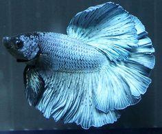 Steel Blue Live Halfmoon Male Betta Fish Gorgeous Underwater Rainbow Auction | eBay