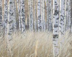 Light Birch Forest -             Fototapeten & Tapeten -           Photowall