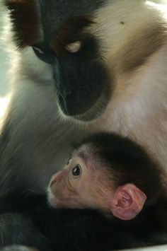 A Cherry-crowned Mangabey has been born at Paignton Zoo. On October 21, mother Kibibi and father Yengo welcomed the little male, who has yet to be named. The arrival brings the Zoo's troop up to six - two males and four females