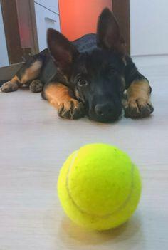 German shepherd Puppy and tennis ball. How sweet
