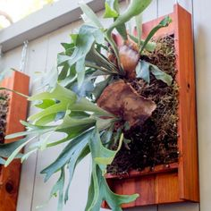 How to Mount a Staghorn Fern. Need to add some green to your indoor or outdoor walls? Put a fern on it! Check out our guide to mounting elkhorn and staghorn ferns.