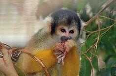 Los haplorrinos son un clado1 y un amplio suborden de primates entre los que se incluye el hombre. Se llaman así porque carecen de una membrana alrededor de las narinas (rinario) y de vibrisas en el hocico, al contrario que los primates estrepsirrinos como los lémures. Estas dos características aparecen también en muchos otros mamíferos: ratas, perros.