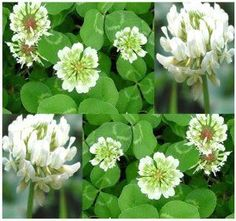 10,000 White Dutch Clover Seeds nectar source for bees and butterflies ~FRAGRANT by http://MySeeds.Co. $1.50. http://www.amazon.com/gp/product/B008FWJ77M. ~~ OVER 1,000+ VARIETIES & EXPANDING TO CHOOSE FROM ~~!!. Click or Copy & Paste Link Below For Bulk Order. This Order =  10,000+  Seeds ~!!. S&H is a FLAT RATE NO MATTER HOW MUCH YOU ORDER FROM US ~!!. ~ ~ ~ WE OFFER BOTH PKT. & BULK SIZES ~ ~ ~   White Dutch Lawn Clover  This plant is attractive to bees, butterflies and/or birds Flowe...