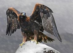 Golden Eagle by RonaldCoulter