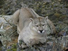 Beautiful male puma in Patagonia
