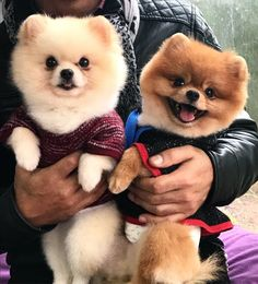 Marvelous Pomeranian Does Your Dog Measure Up and Does It Matter Characteristics. All About Pomeranian Does Your Dog Measure Up and Does It Matter Characteristics. Ty Beanie Boos, Pomeranian Breed, Pomeranians, Save A Dog, Getting A Puppy, Fluffy Dogs, Working Dogs, Happy Dogs, Blue Merle
