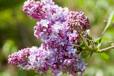 Lilac shrubs are beautiful, fragrant and a great addition to any garden.