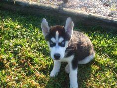 Husky pup <3 Yenko