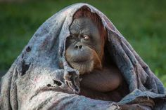 Orangutan feels the chill — An orangutan covers itself with a blanket during winter time at Rio de Janeiro Zoo in Brazil on August 22, 2013. (YASUYOSHI CHIBA/AFP/Getty Images)