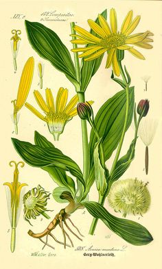 In This Issue- Arnica Balm Recipe