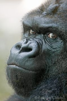 An beautifully expressive Gorilla sort of giving the 'stink eye'.