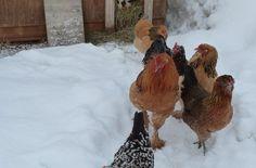 10 races de poules bonnes pondeuses d'hiver