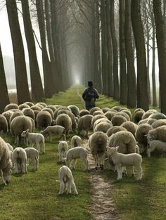 Tending the sheep