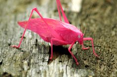 Fluorescent Pink Katydid
