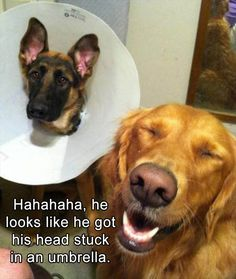 15 Hilarious Animals Rocking The Cone of Shame - World's largest collection of cat memes and other animals Funny Animal Memes, Dog Memes, Funny Animal Pictures, Cute Funny Animals, Funny Cute, Dog Pictures, Funny Dogs, Animal Humor, Animal Pics