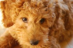 The creator of the Labradoodle expresses his regret over creating the designer pooch craze.