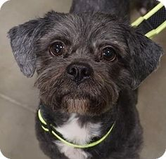 Livonia, MI - Lhasa Apso. Meet Toby, a dog for adoption. http://www.adoptapet.com/pet/12167039-livonia-michigan-lhasa-apso