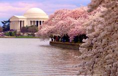 Washington DC - yes I want to go for the obvious reasons but I mostly want to go when the cherry blossom trees are in bloom! Cherry Blossom Dc, Cherry Blossom Season, Cherry Tree, Cherry Blossom Washington Dc, Cherry Blooms, Jefferson Memorial, Jefferson Monument, Lincoln Memorial, Thomas Jefferson