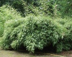Fargesia rufa 'Green Panda Bamboo' @ E.C. Brown's Nursery
