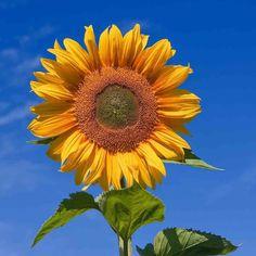 Bonsai, Growing Flowers, Beautiful Flowers, Tall Flowers, Oil Face Wash, Van Gogh Pinturas, Flowers Wallpaper, Sunflower Seeds, Gardens