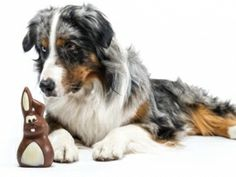 Houd #chocolade uit de buurt van #hond en #kat, want dat is voor hen echt (levens)gevaarlijk!