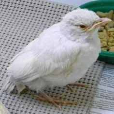 Albino robin  Buffalo , NY
