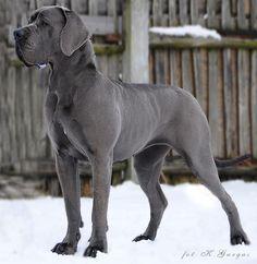 Great dane / german mastiff