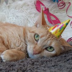 Local Cat Refuses To Accept That Birthday Is Over