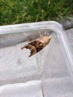 Nachtvlinder, bij ons gepopt, uitgekomen en uitgevlogen