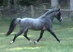 Blue Roan. Welsh Pony