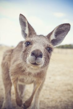 Kangaroo checking out the camera