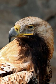 The Eastern Imperial Eagle's amazing features. #eagle #birds #nature