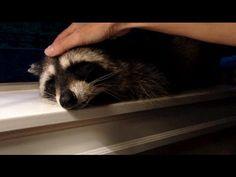 ▶ Petting A Friendly Wild Raccoon To Sleep - YouTube    (07.25.14)
