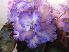 Opera's Stanerio | Saintpaulia, House plants, Bloom