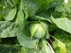 Our Heirloom Produce: Picture Show, Cabbage, Seeds, Vegetables, Garden, Greenhouses, Green Houses, Garten, Glass House