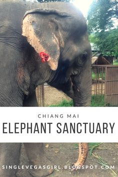 Ever wanted to visit an elephant sanctuary? Read all about my visit in Chiang Mai!  http://singlevegasgirl.blogspot.com/2017/01/travel-tuesday-elephant-sanctuary.html
