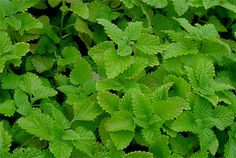 How To Use Lemon Balm To Ease Anxiety   Much More!