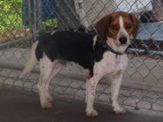 REPIN ME!!!!>>>>RABBIT is an adoptable Beagle Dog in Henderson, NC. SOMEONE�MISPLACE THIS SWEET FELLOW? RABBIT WAS FOUND AS A STRAY.IT APPEARS THAT HE HAS BEEN SOMEONES PET AND NOT USED FOR HUNTING.LOUD NOISES SCARE ...