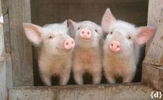 Cute Piggies – So Cute Nelly Cute Baby Pigs, Cute Piglets, Cute Baby Animals, Animals And Pets, Baby Piglets, Farm Animals, Pet Pigs, Guinea Pigs, Teacup Pigs