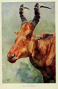 The Uganda Protectorate 1902 Jacksons Hartebeest Canvas Art - Sir Harry Johnston x Congo Free State, Physical Geography, Collage Vintage, Zoology, Anthropology, Uganda, Mammals, Moose Art, Jackson