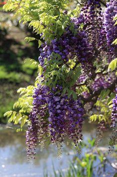 miizukizu:Flowers / 花(はな)Ashikaga Flower Park, Ashikaga-shi(city) Tochigi-ken(Prefecture), JapanBy :TANAKA Juuyoh (田中十洋)