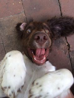 Tully the Springer Spaniel puppy