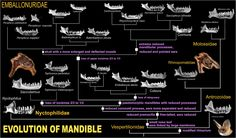Emballonuridae Phylogeny Part 1 mandible analysis | by ARCANO NelsoN Gomes