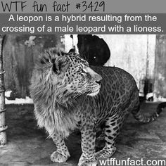 Leopon: leopard and lioness hybrid - WTF fun facts