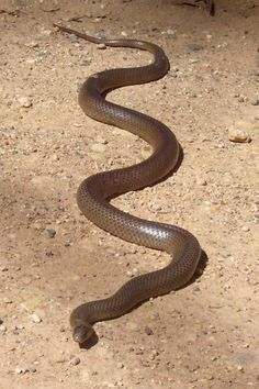 Eastern brown snakes (Pseudonaja textilis), are the deadliest snake in Australia by number of fatalities and second most toxic of any land snake in the world.  They eat mice and can be found across the Eastern coast.  They are aggressive, easily aggravated and quick.  Extremely dangerous.  Average length: 1.1-1.8m.  Largest recorded: 2.4m long.