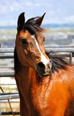 ☀Beautiful Purebred- Country/hunter/broodmare/trail, Swe by stubbornelm*