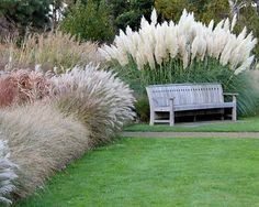 Image result for cortaderia selloana pumila