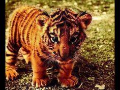 een tijger heeft een harig textuur