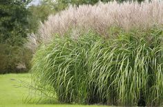 For nonstop performance, strength and visual impact, few plants compare to ornamental grasses. Enjoy this list of some of the most popular grasses.